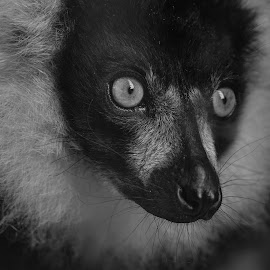 Lemur by Barry Smith - Black & White Animals ( nature, monochrome, animals, black and white, faces )