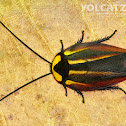Neotropical cockroach
