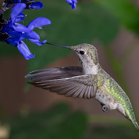 Hummingbird by Jim Malone - Animals Birds ( hummingbird, anna's, annahummingbird,  )