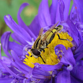 Yellow on yellow by Nicoleta Gradinaru - Animals Insects & Spiders ( nature, purple, bee, bug, yellow, close-up )
