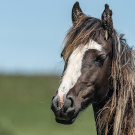 Moor Pony by Barry Smith - Animals Horses ( mammals, animals, pony, horses, equine,  )