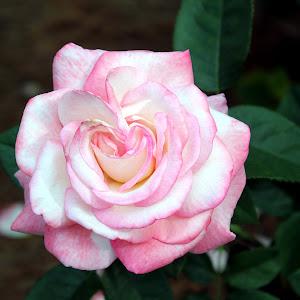 238 rose.jpg