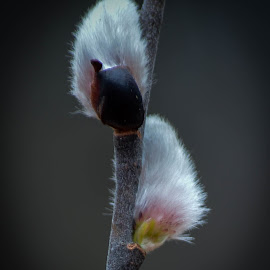 pussywillow by Sue Duq - Nature Up Close Other plants
