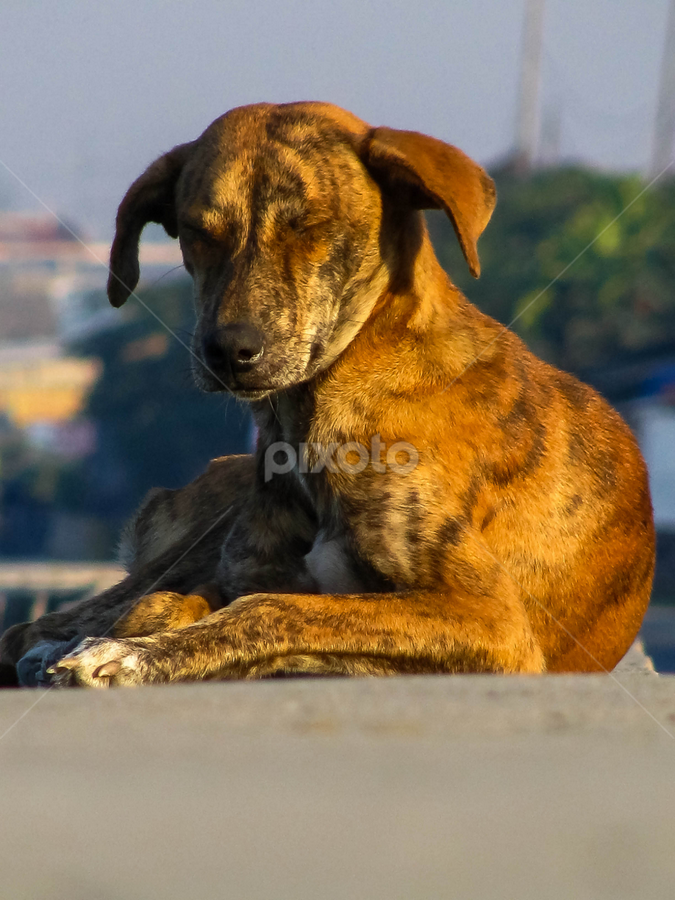 ASPIN by Rogz Necesito Jr. - Animals - Dogs Portraits