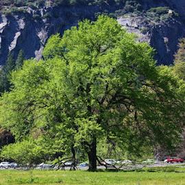 Yosemite Valley Elm by Karen Coston - City,  Street & Park  Historic Districts ( nature, yosemite, california, green, elm tree )