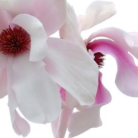 Magnolia by Michael Schwartz - Flowers Tree Blossoms (  )
