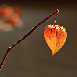 Autumn heart by Vita Kalivoda - Nature Up Close Leaves & Grasses ( macro, grass, autumn, depth of field, bokeh )