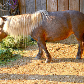 Mane n Tail by Bryan Lowcay - Animals Horses ( pony, horses )