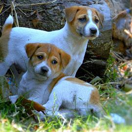 Attention by Swarnendu Ghoshdastidar - Animals - Dogs Puppies ( #puppies #dog #innocent )