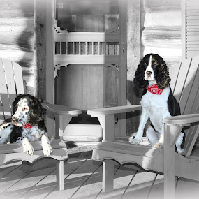 English Springer Spaniels by Guy Longtin - Animals - Dogs Portraits ( springer, spaniel, ess, dog, #GARYFONGPETS, #SHOWUSYOURPETS, black and white, animal )