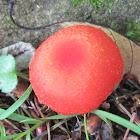 Waxy Cap Mushroom