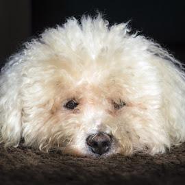 Buster! by Steve Leonard - Animals - Dogs Portraits ( bichon, fluffy, dogs, bichon frise, pets )