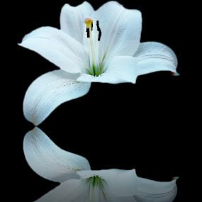 by Miho Kulušić - Flowers Single Flower ( reflection, single flower, digital manipulation, digital photography, lilly, flower,  )