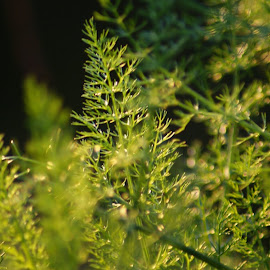 golden plant by Marco Alves - Nature Up Close Gardens & Produce ( plants, close up, golden hour )