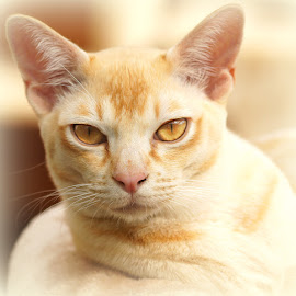 Tom by Caroline Beaumont - Animals - Cats Portraits ( kitten, cat, red, yellow eyes, burmese )