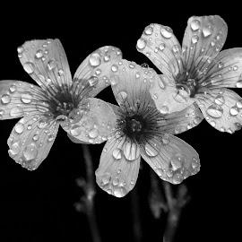 wood sorrel by Asif Bora - Black & White Flowers & Plants