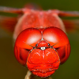 Red by Sunny Joseph - Animals Insects & Spiders