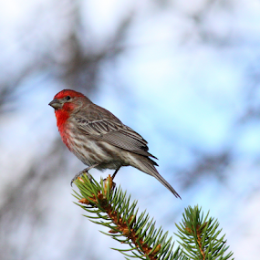 Red Headed Finch on Fir by Brian Robinson - Animals Birds