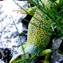 Ocellated Lizard; Lagarto Ocelado