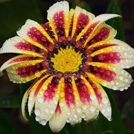 beautiful gazania by LADOCKi Elvira - Flowers Single Flower ( nature, flowers, garden,  )