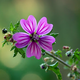 Malva daylight by Patrizia Sapia - Flowers Flowers in the Wild