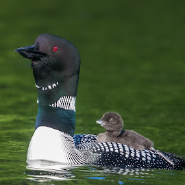 Tall Loon with Baby on Back by Carl Albro - Animals Birds ( water, baby, loon, belgrade maine lakes area )