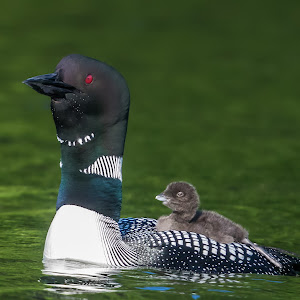 AnB_Tall Loon with Baby.jpg