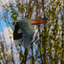 Green Heron in flight by Robin Rawlings Wechsler - Animals Birds ( bird, flight, nature, green heron, wings, wildlife, heron )