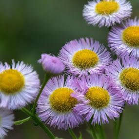 Fleabane by Judy Florio - Flowers Flower Gardens ( spring, macro, flowers, tiny, yellow, purple, garden, fleabane,  )