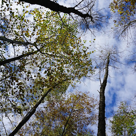 Looking Up by Kathy Kehl - Landscapes Forests ( clouds, sky, tree, cloudscape, skyscapes, trees )