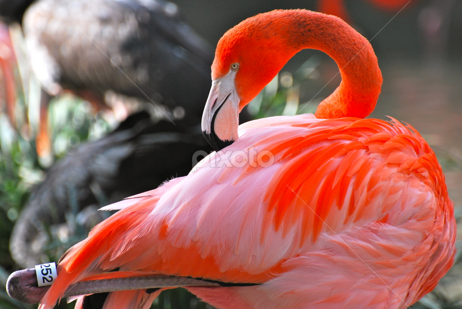 Elegant Flamingo by Anisha Rajani - Animals Birds ( san diego, zoo, colorful, flamingo, wildlife, pink, birds )