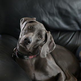 what means this get down by Deb Dicker - Animals - Dogs Portraits ( weimarener', pet, family, furbaby, dog, greyghost,  )