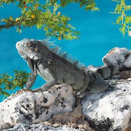 Iguana by David Gilchrist - Animals Reptiles ( curacao, iguana, westpunt, reptile, animal )
