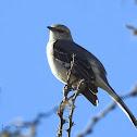 Northern mockingbird