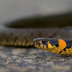Snok by Michael Pelz - Animals Reptiles