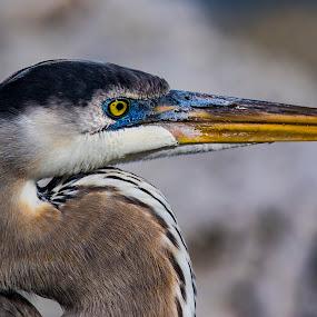by Bea Welsh - Animals Birds ( beak, legs, fishermam, wader, heron, eyes,  )