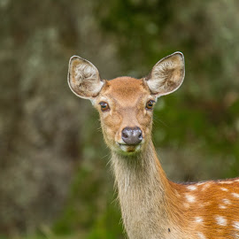 Deer by Garry Chisholm - Animals Other Mammals ( garry chisholm, nature, wildlife, woburn, mammal, deer )