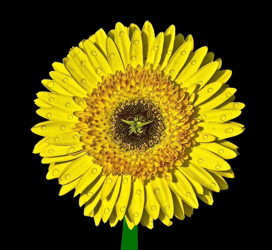Sun Drops ! by Ashish Jain - Nature Up Close Flowers - 2011-2013