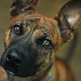 Staring through you by Clarissa Human - Animals - Dogs Portraits ( rescue dogs, pet photography, dogs, pets, dog,  )