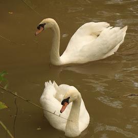 2 White Swans by Michael Loi - Novices Only Wildlife ( swans, white, sg, bird park )