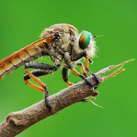 Robber fly by Ujang Wahyudin - Animals Insects & Spiders ( natural light, macro, nature, indonesia, lensa, wildlife, nikon, insect, natural )
