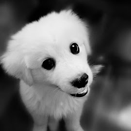 willienelson.jpg by Theresa Floyd - Animals - Dogs Portraits ( great pyrenees, white, puppy, cute, domestic )