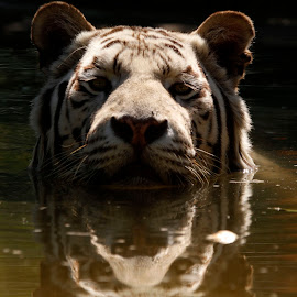 I'm in the bath  by Tracy Morris - Animals Lions, Tigers & Big Cats
