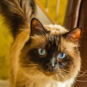 Metzler by Tony Burnard - Animals - Cats Portraits ( walking, curious, mischief furry )