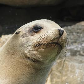 Sealion by Nicola Dowdall - Animals Sea Creatures