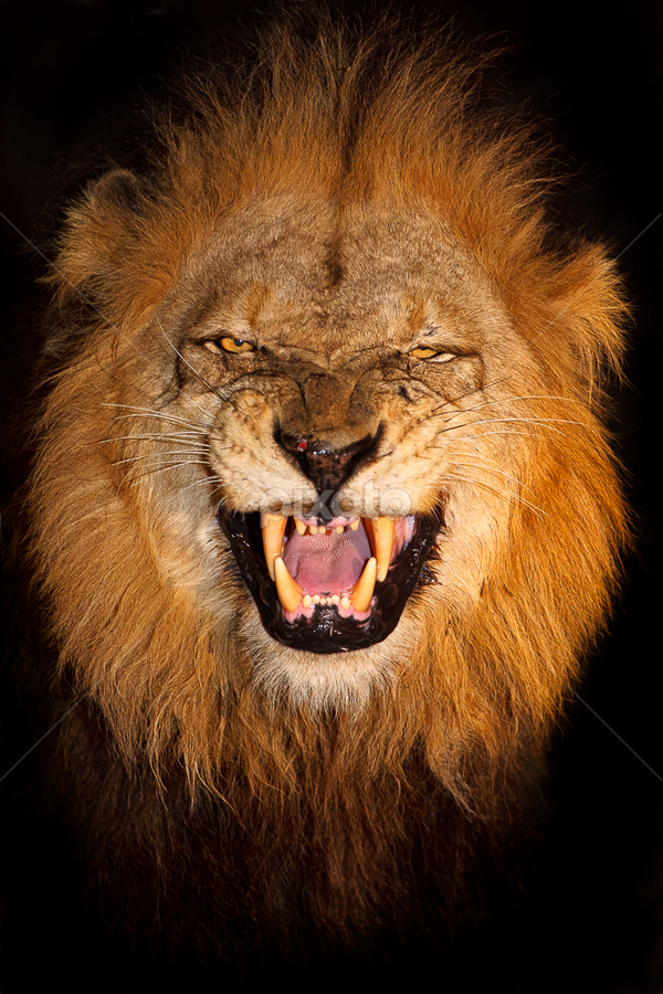 Smile by Brendon Cremer - Animals Lions, Tigers & Big Cats ( mammals, lion, sabi sand game reserve, south africa, wildlife, predators, country, mapogo, {panthera leo}, [meat eater], africa, greater kruger national park, {carnivore}, animal )