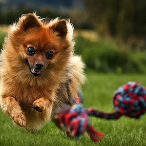 by Jane Bjerkli - Animals - Dogs Running ( natural light, playful, jumping, joy, cute, pwc76, run, running, natural background, playing, adorable dogs, happy, action, animals in motion, motion, animal, moving, animalia, play, charging, pwc84, jump, joyful, zoology, companion dog, dog, pomeranian,  )