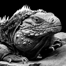 by Judy Rosanno - Black & White Animals ( lizard, iguana, reptile )