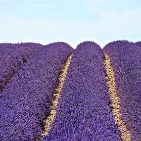 Lavender fields by Darius Apanavicius - Landscapes Prairies, Meadows & Fields ( provence, violet, france, landscape, lavender, fields,  )