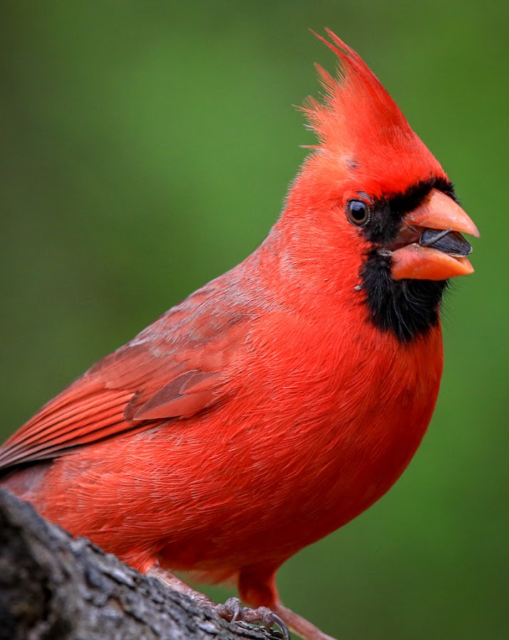 Mr. Cardinal by Mike Craig - Animals Birds